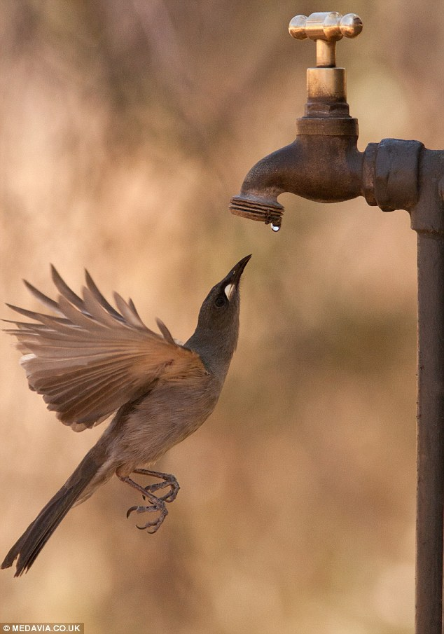 Honeyeater Bird drinking from tap