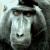 Confused Ape